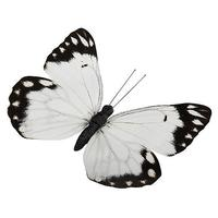 """Butterfly """"Pieridae"""""""