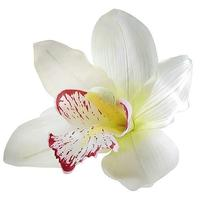 orchid blossom white