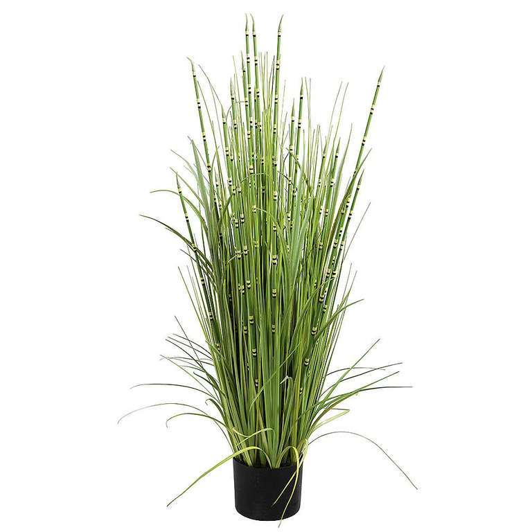 Horsetail in pot