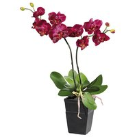 Phalenopsis orchid in pot